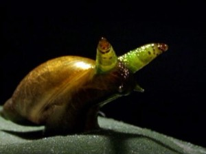 okay, technically, the zombie snail is the parasite but still...  image via nationalgeographic.com